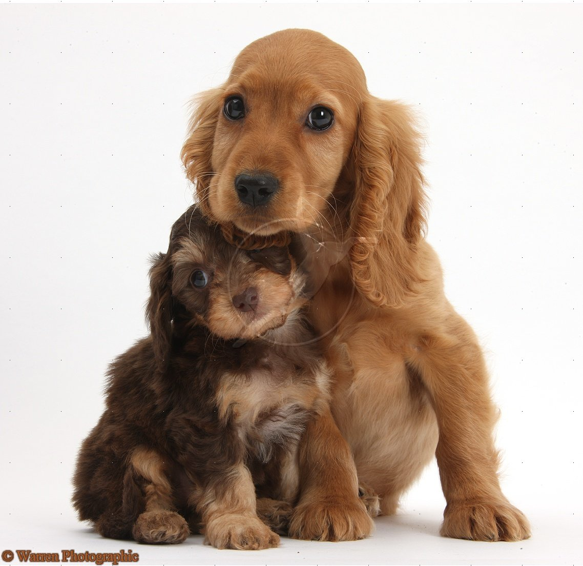 Cute Dogs: Cocker spaniel dog