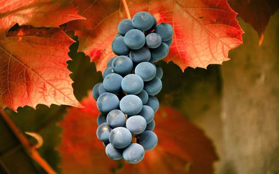 grapes-autumn-macro-leaves