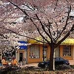 Cherrydale blossoms