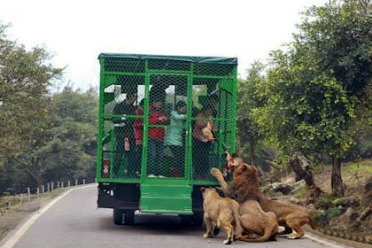Di Kebun Binatang Ini, Manusia yang Dikandangkan