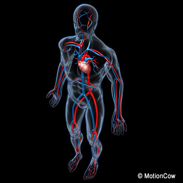 3d Cardiovascular System2