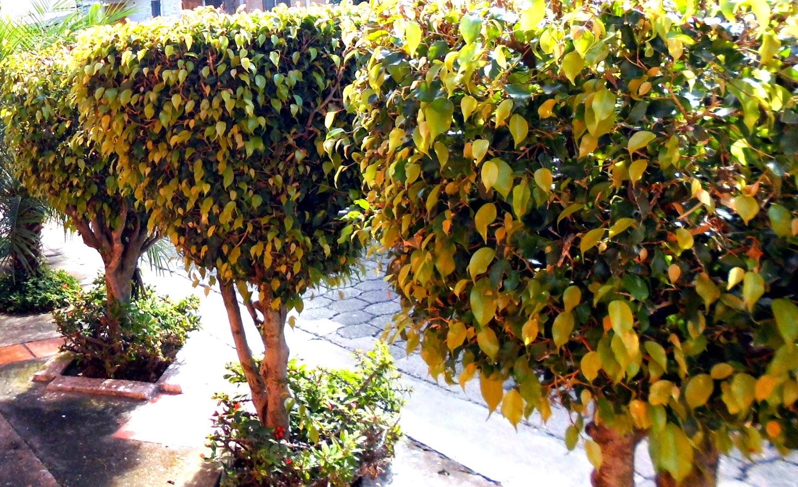 Arbustos, de Ficus, Plantas, Flores
