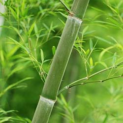 Cerita Motivasi Sebatang Bambu