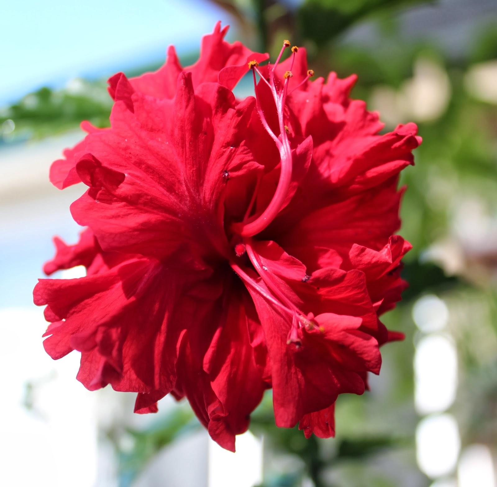 florez nursery hibiscus rosa sinensis 39 hiawatha 39. Black Bedroom Furniture Sets. Home Design Ideas
