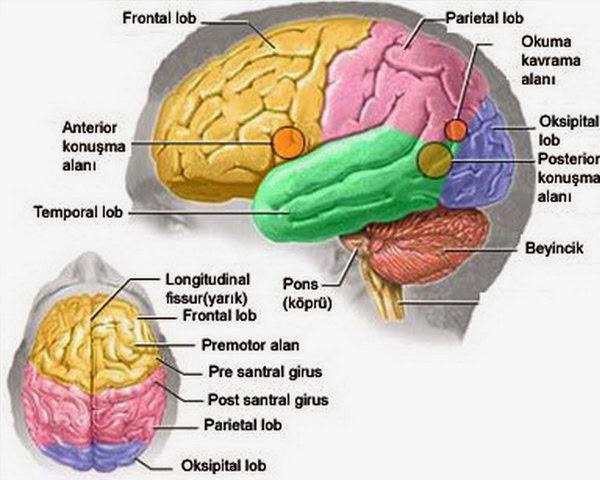5 Fakta Unik dari Otak Manusia