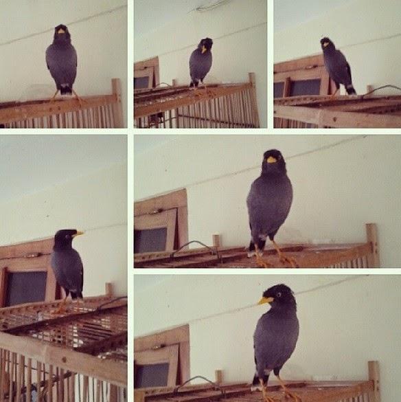 Tips Jitu Merawat Burung Jalak Kebo