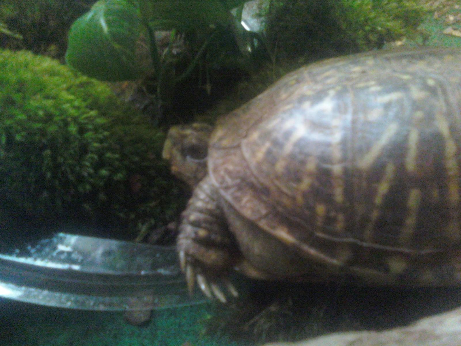 how to raise a wild box turtle