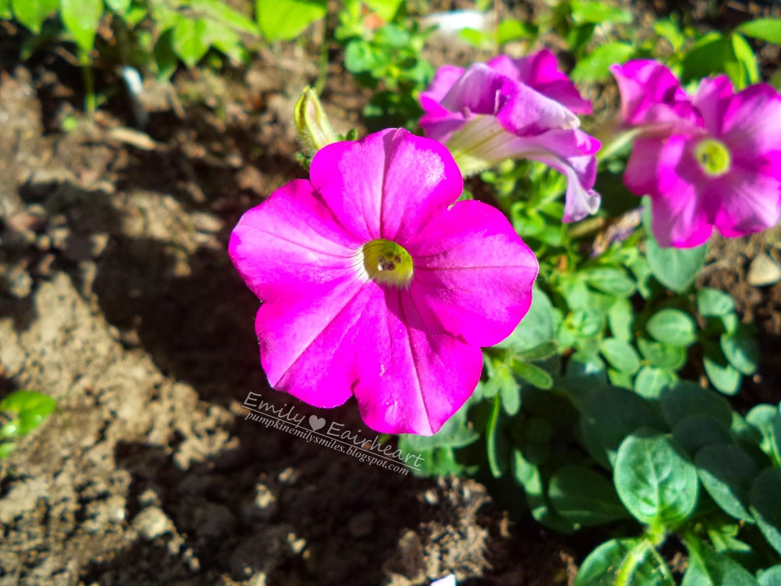 Bright pink Petunia