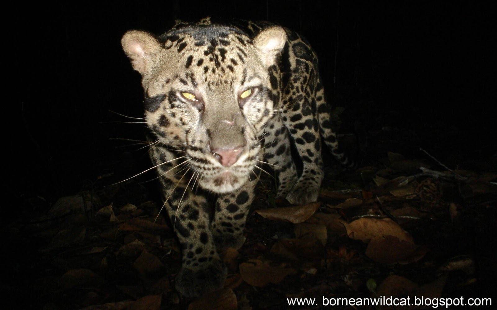 The Bornean Tiger Speculation on its Existence by Erik