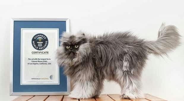 Kucing Dengan Bulu Terpanjang di Dunia