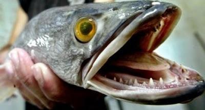 gambar hewan - foto ikan piranha