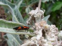 Large milkweed bug (Oncopeltus fasciatus) on Indian milkweed (Asclepias eriocarpa), Fish Canyon Trail