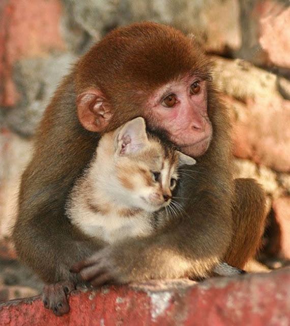 Como eu gosto de voce imagem de amor gato e macaco