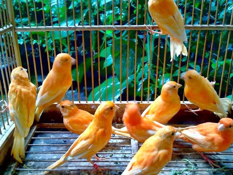 Manfaat Bawang Putih untuk Burung Ocehan