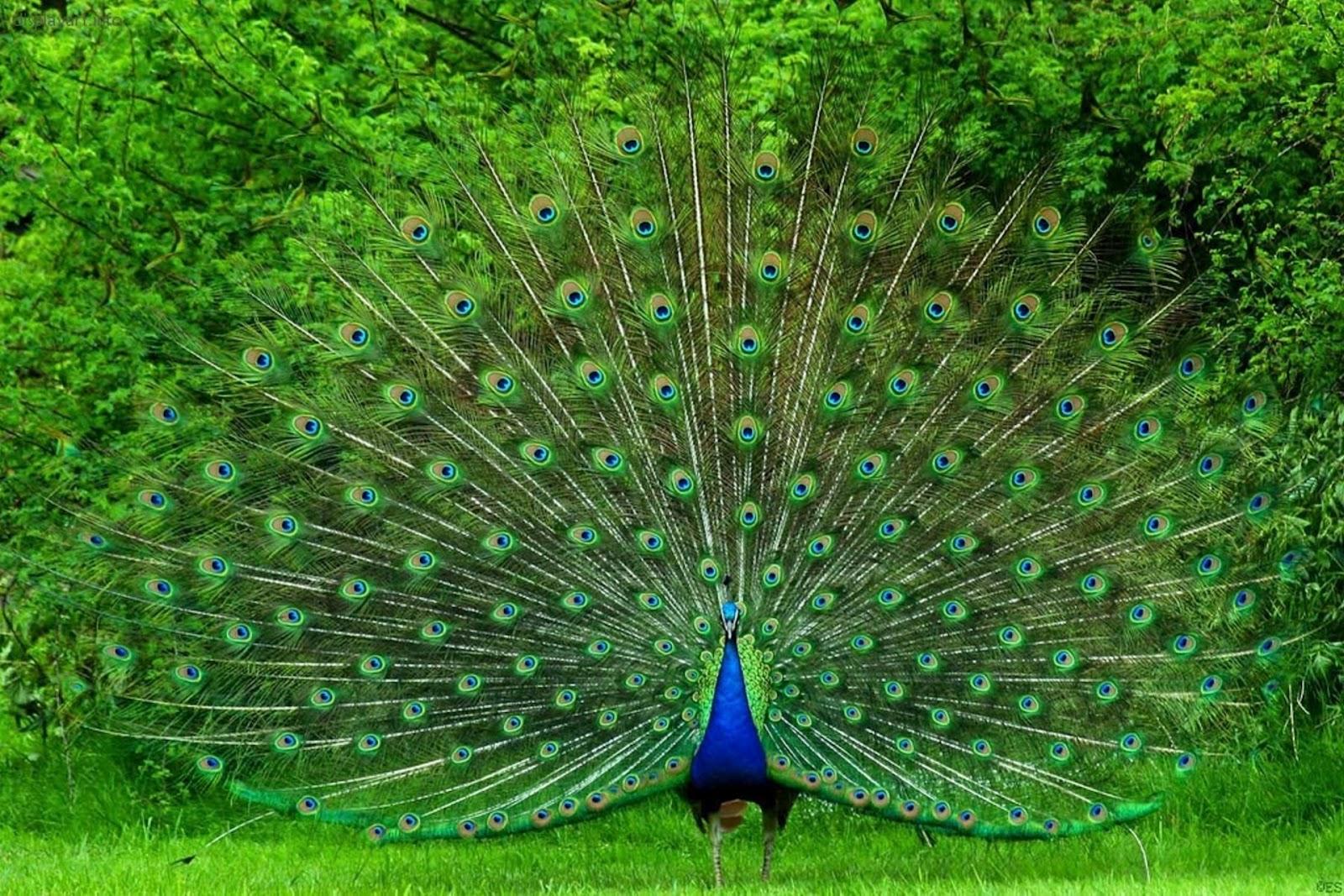 http://4.bp.blogspot.com/-XTAT6P4r55w/UVMnqHYZVVI/AAAAAAAAMhc/j7zg4mpaisc/s1600/beautiful+peacockwallpapers+hd+%283%29.jpg