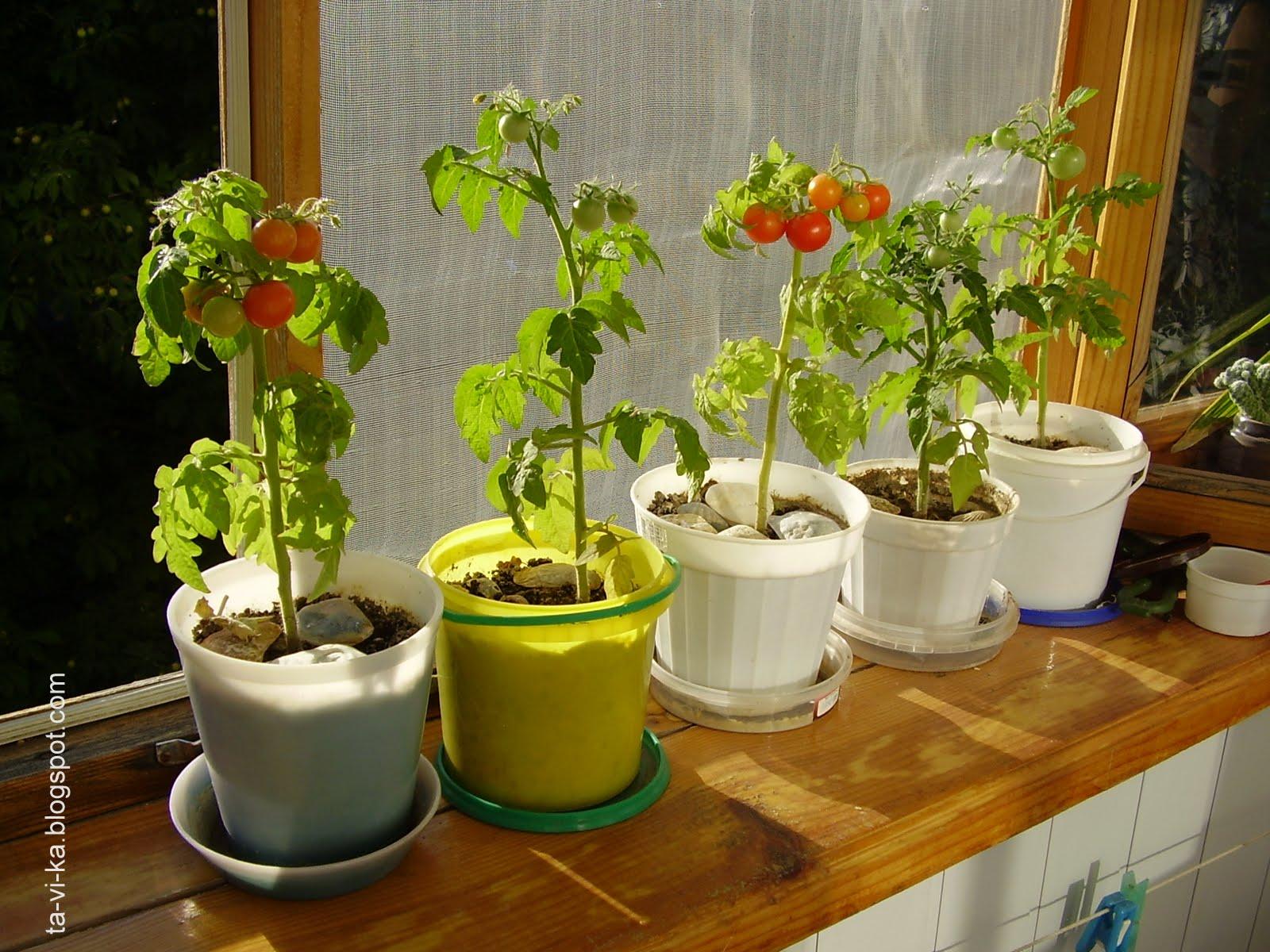 Как вырастить помидоры на подоконнике: самые вкусные томаты .