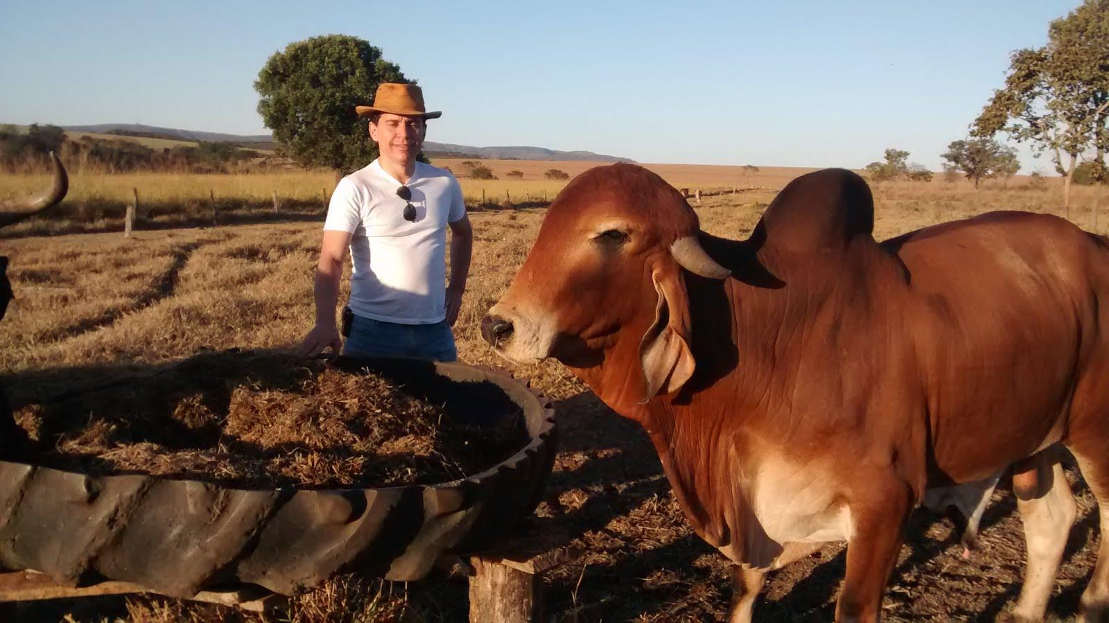 Gado Gir, venda permanente de tourinhos.