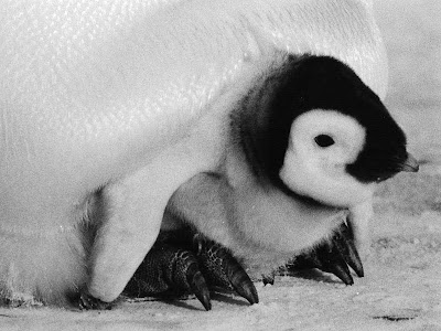 Emperor Penguin Pictures 3