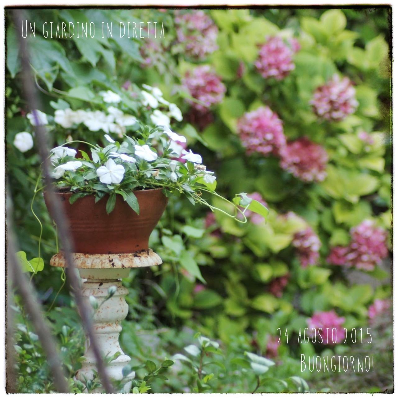 Fiori di agosto pervinca del madagascar catharanthus for Fiori di agosto