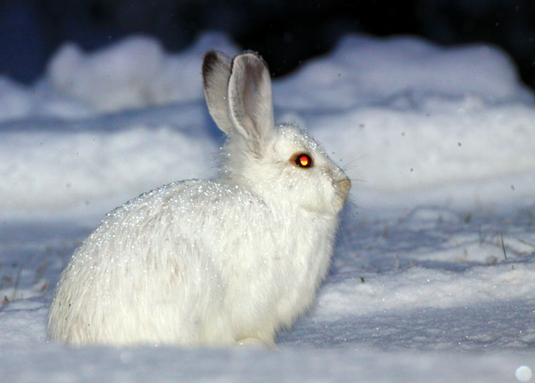 Snowshoe hare a beautiful animal the wildlife