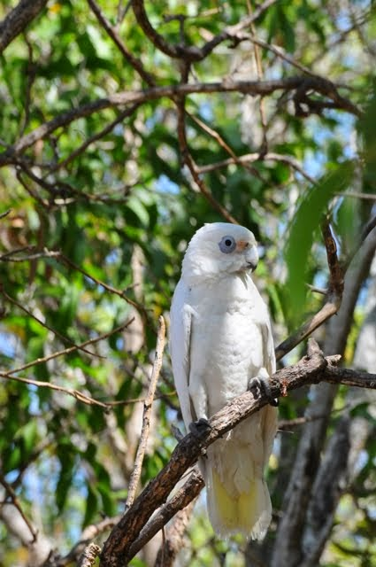 Little Corella 3