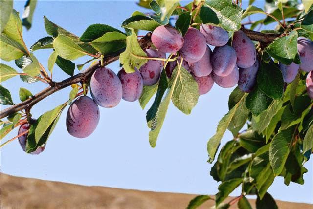 Mon arbre le de vivre le douaire tout savoir sur le prunier les prunes quetsch prunus - Taille des pruniers mirabelles ...