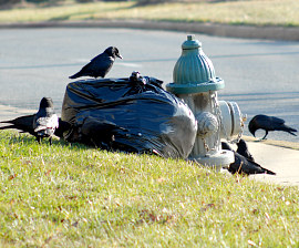 crows eating trash, by Humane Society of the United States