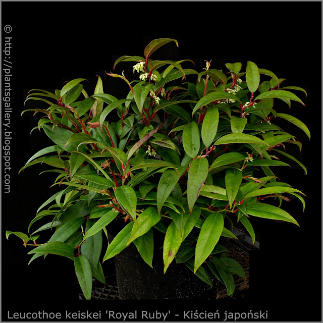 Leucothoe keiskei 'Royal Ruby' habit - Kiścień japoński 'Royal Ruby' pokrój