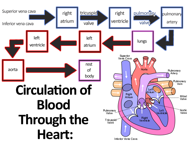 Heart Blood Flow Through The Circulatory System further 2 Pole Circuit Breaker Wiring Diagram further Dynamo Electric Generator besides AC Generator Winding Diagram as well Electrical Schematic Diagram Symbols. on 3 phase motor wiring diagrams