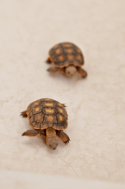 Cute Baby Desert Tortoise Greer wedding and desert