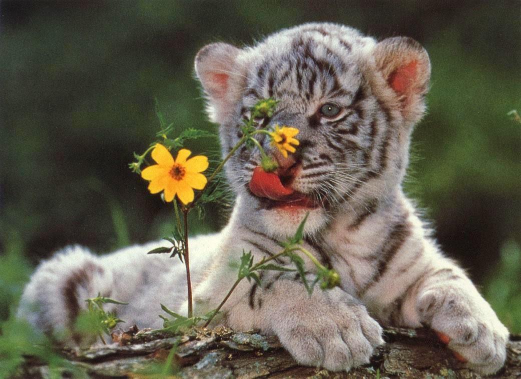 cachorro-blanco-de-tigre