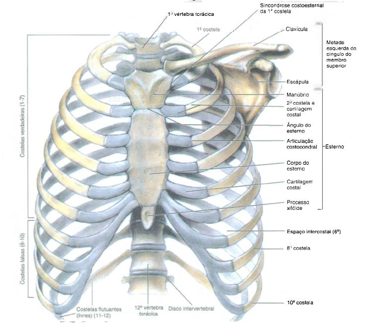 Cinesiologia respira o for O osso esterno e dividido em