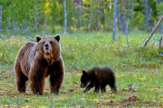 H βουλευτής Β΄ Αθηνών Ελένη Ζαρούλια υπέβαλε ερώτηση για την ελλιπή προστασία της αρκούδας στην περιοχή των Πρεσπών