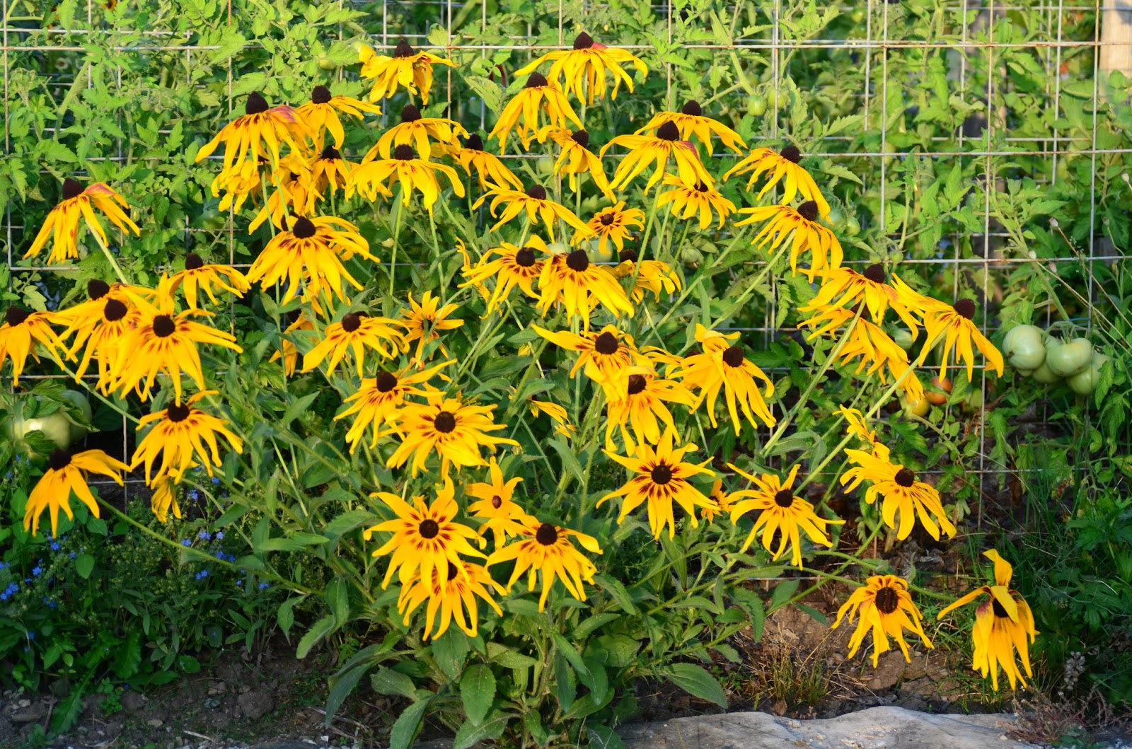 Roche fleurie garden gloriosa daisy yelloworange daisy about two feet tall 60 cm and biennial its flowers however are quite unpredictable and there is a great deal of diversity izmirmasajfo
