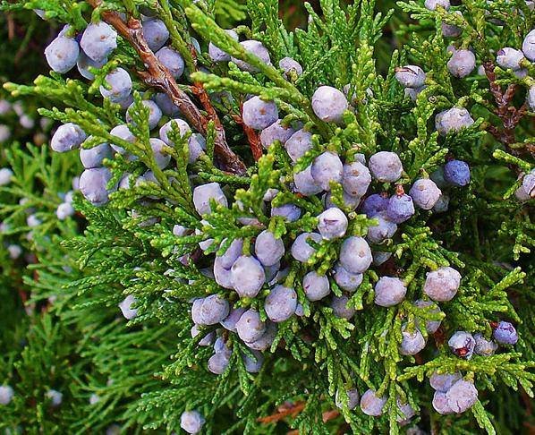 http://fr.wikipedia.org/wiki/Juniperus_sabina