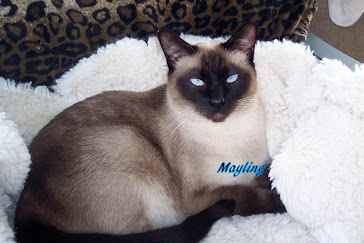 "Mayling  ""My first Siamese Queen ""."