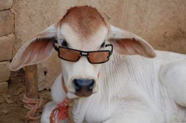 Cow Sheep Glasses
