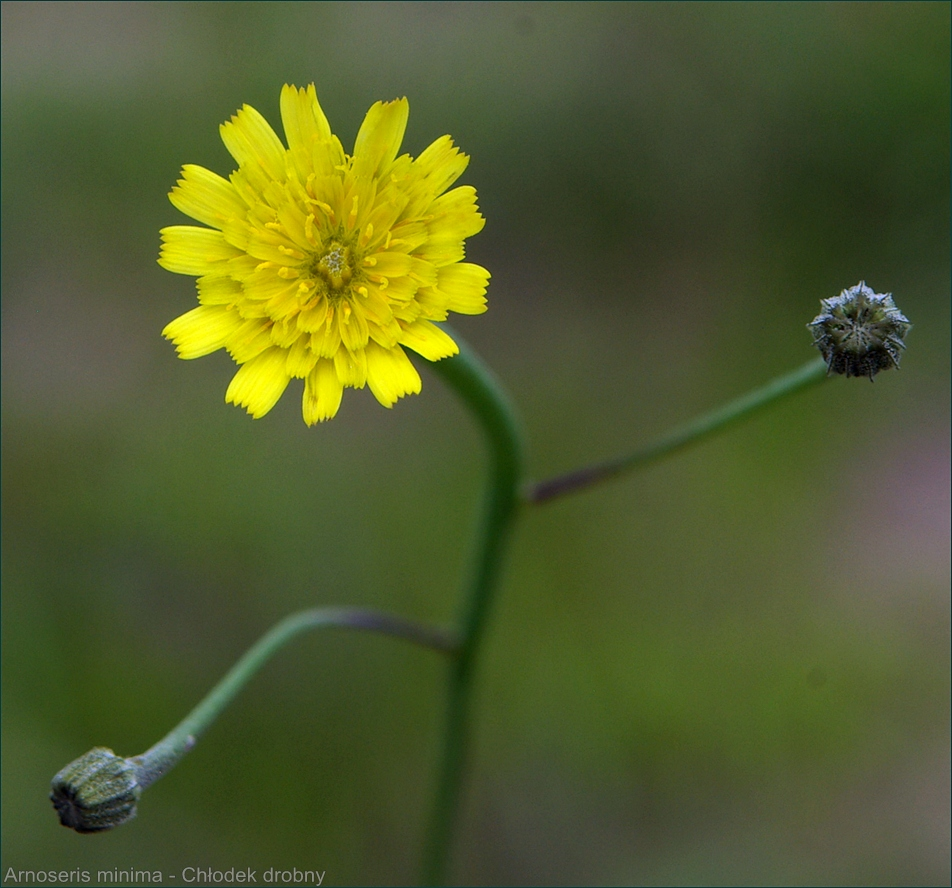 Arnoseris minima - Chłodek drobny kwiat