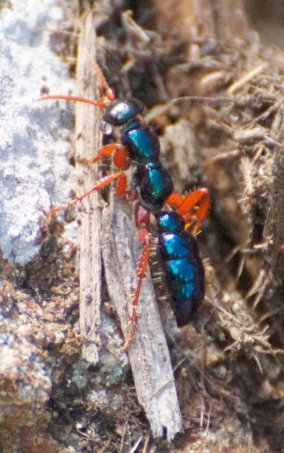 Blue Ant (Diamma bicolor)