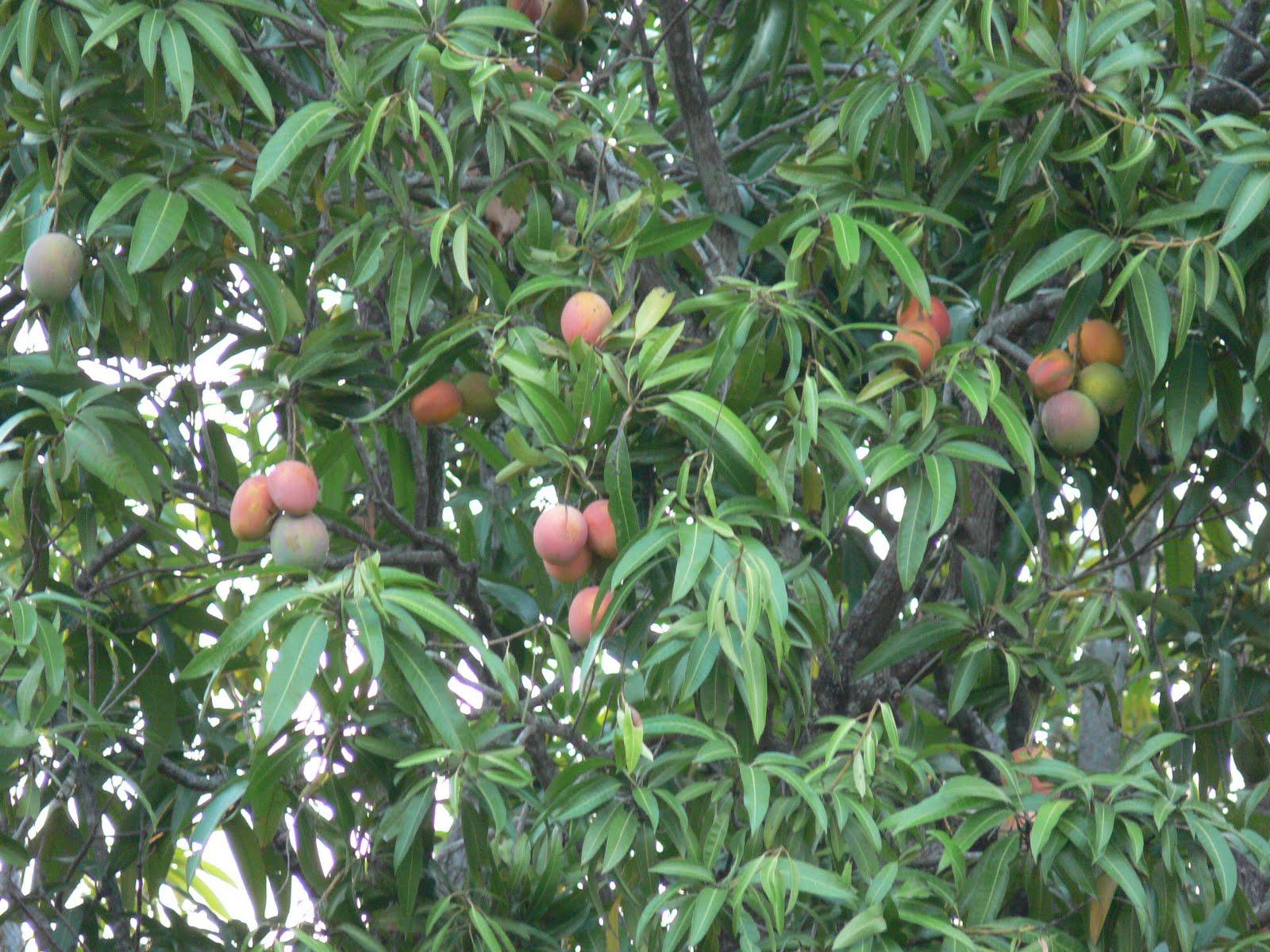 http://4.bp.blogspot.com/-XWjDKggGjGw/Td8gYVw1iTI/AAAAAAAACmc/7V5l7rk5z3Y/s1600/mango%252Btree.jpg