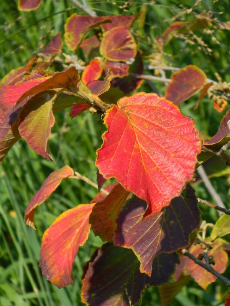 Hamamelis × intermedia 'Diane'  witch hazel fall foliage Toronto Botanical Garden by garden muses-not another Toronto gardening blog