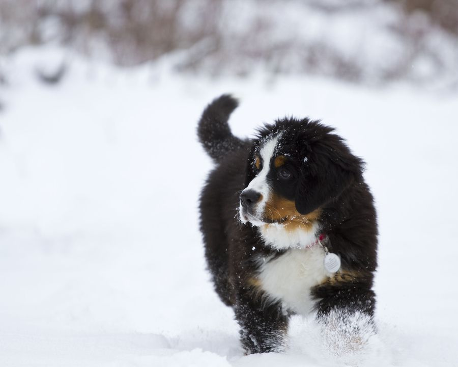 11. Berner Pup in the Snow by John Gessner