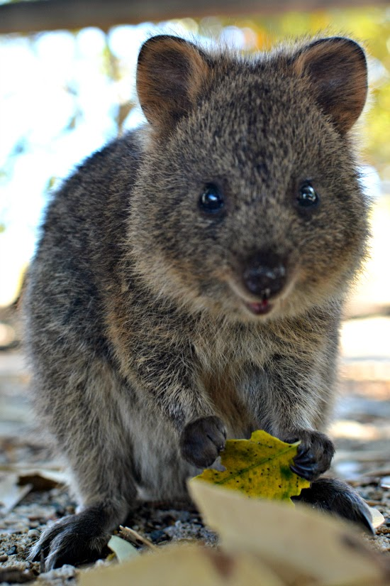 Baby quokka smiling - photo#27