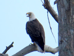 ACE Basin Bald Eagle