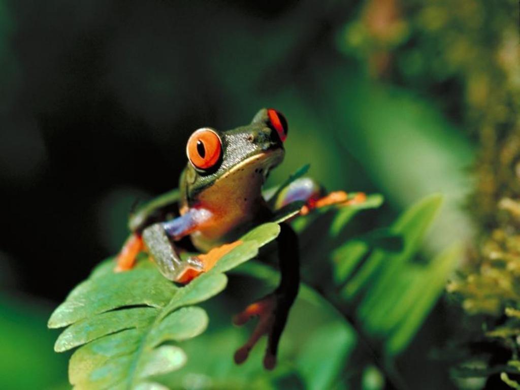 http://4.bp.blogspot.com/-XXt6md3fnCM/Tng1uTmk-wI/AAAAAAAAANk/PVQsZwLLHW0/s1600/poison-dart-frog-wallpaper-13-721646.jpg