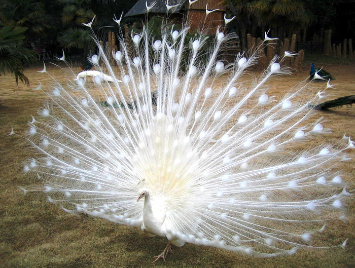 Amazing Worlds: Amazingly Albino Peacock