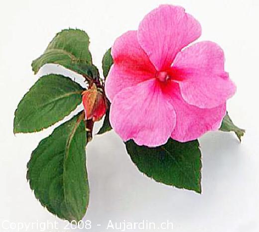 Aquarelas culturais projeto klimt beijinhos canteiros de beijos da natureza ci ncias - Alegria planta cuidados ...