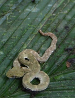 Small Costa Rican Viper