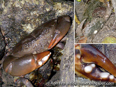 Forcep Crabs (Family Oziidae)