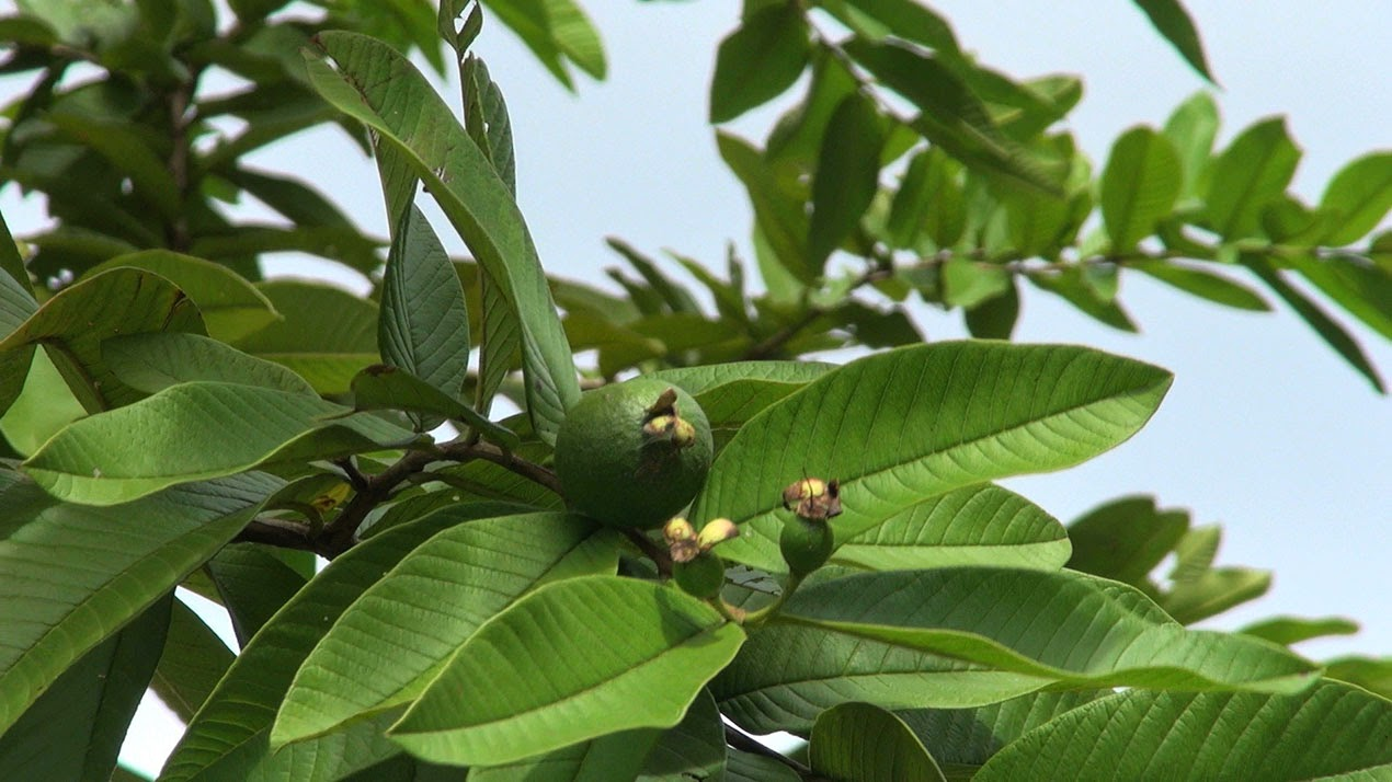 http://indonesian-herbal-medicine.blogspot.com/2014/11/guava-for-curing-disease.html